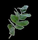 Eukalyptushydrolat
