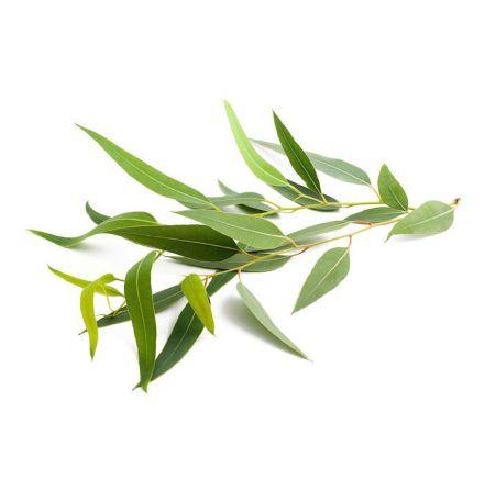 Citroneukalyptus - Eterisk olja