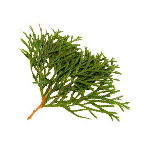 Cypress - Ekologisk Eterisk olja