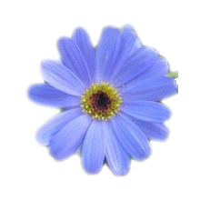 Kamomill blå - Eterisk olja